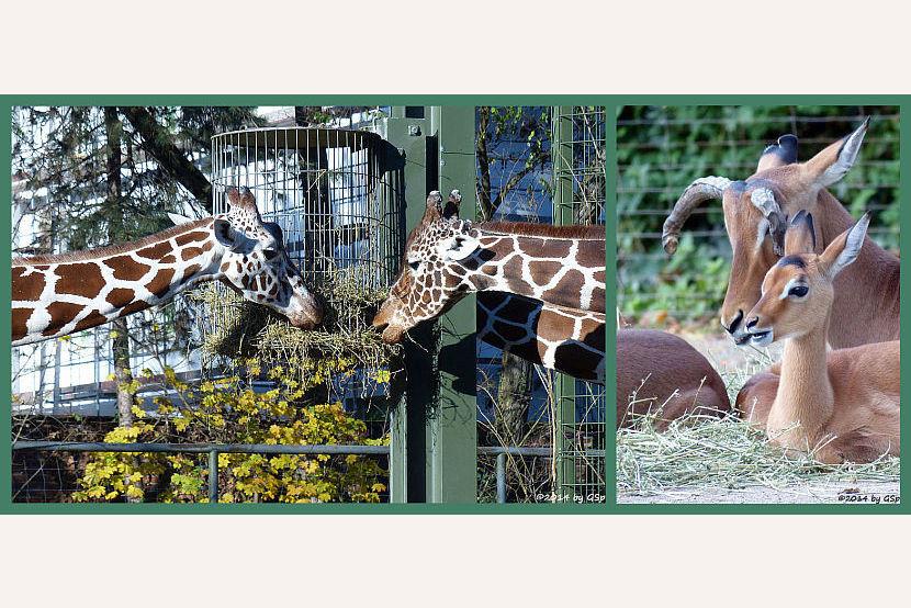 """Netzgiraffen und Impalas: Fotos auf Unterseite """"Netzgiraffen und Impalas"""""""