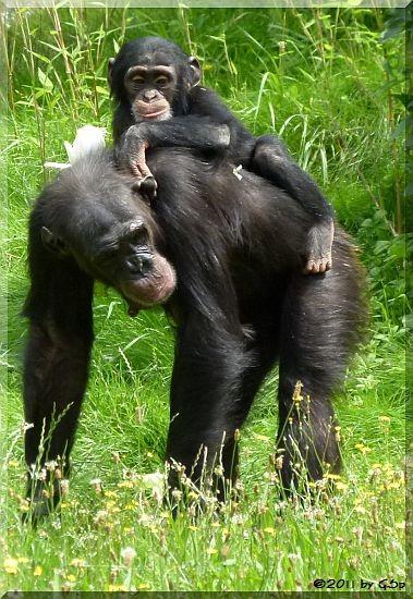 Schimpanse mit Jungtier, geb. am 5.7.09