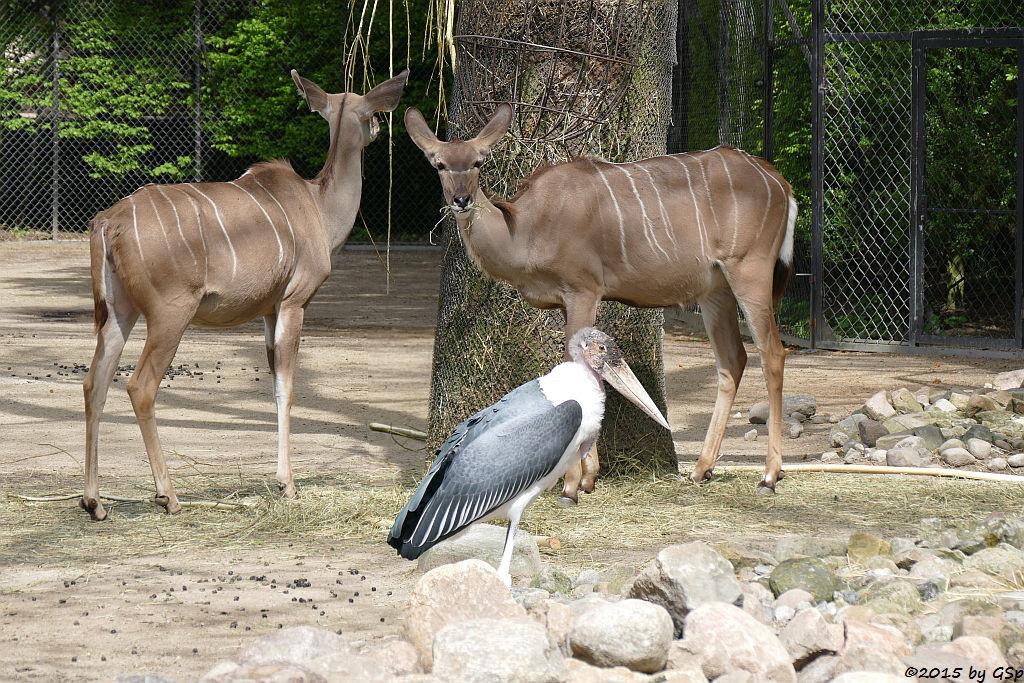 Großer Kudu, Marabu