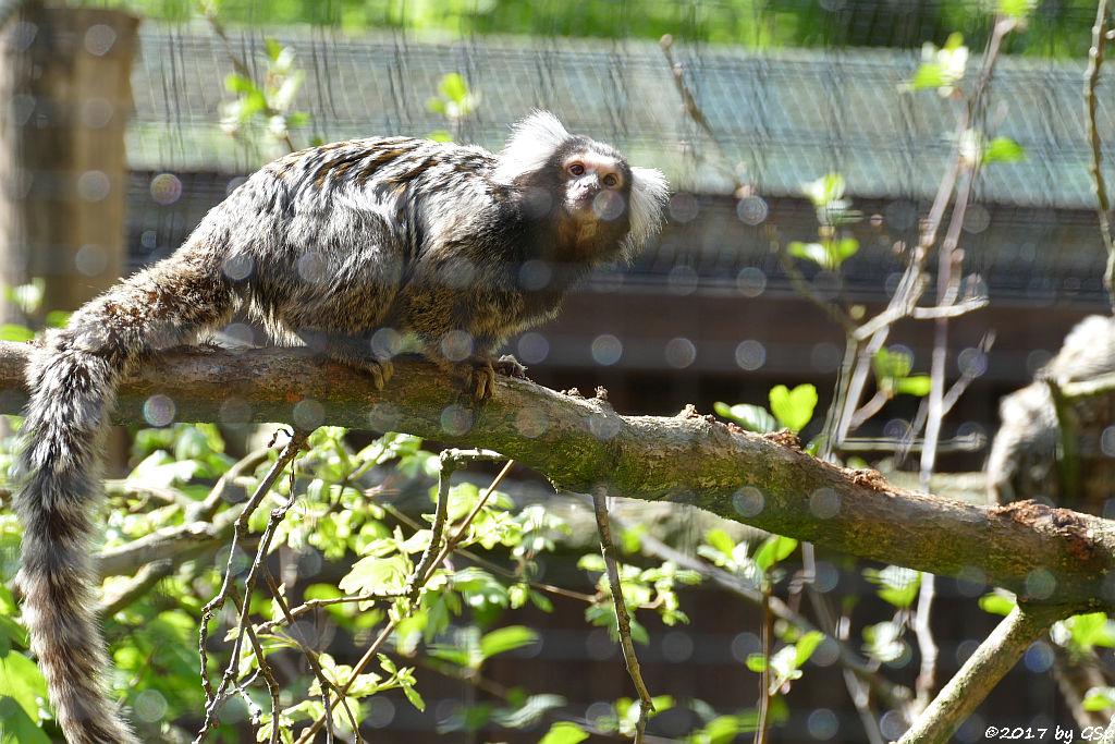 Weißbüscheläffchen (Weißbüschelaffe, Weißohr-Pinselaffe)