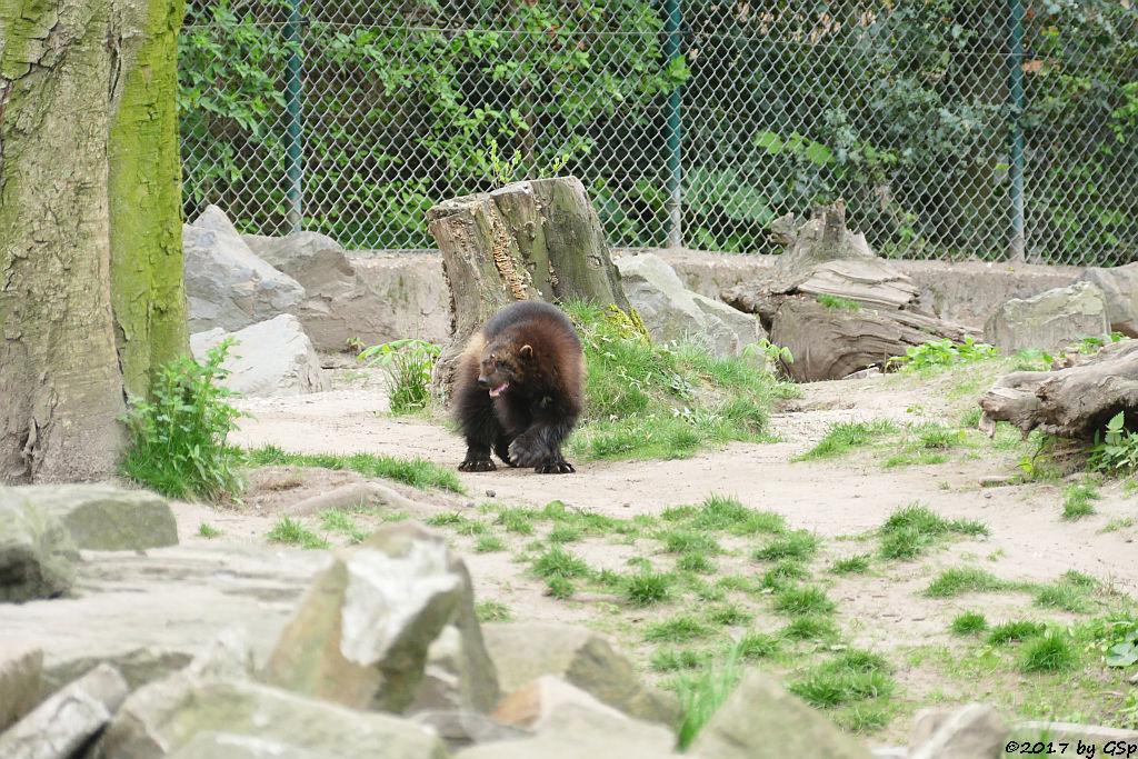 Eurasischer Vielfraß (Järv, Bärenmarder)