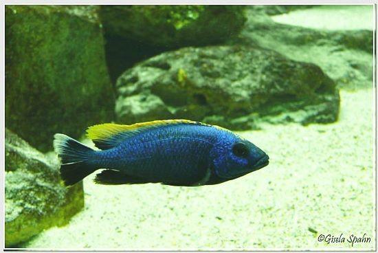 Blaugelber Felsenmaulbrüter