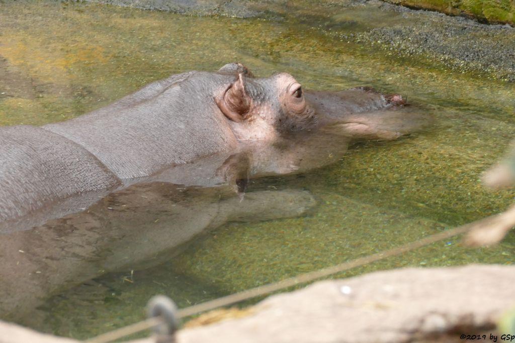 Flusspferd (Nildpferd)