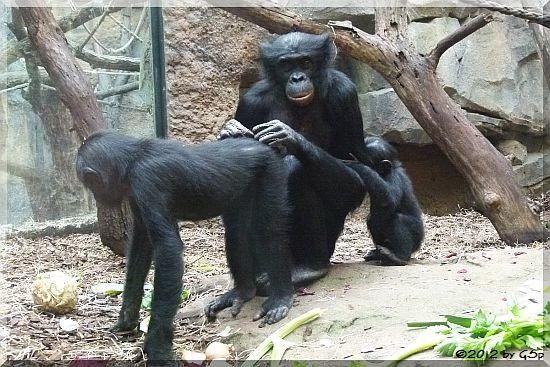 Bonobo ZOMI mit PANISCO und SAMBO, geb. am 8.1.12