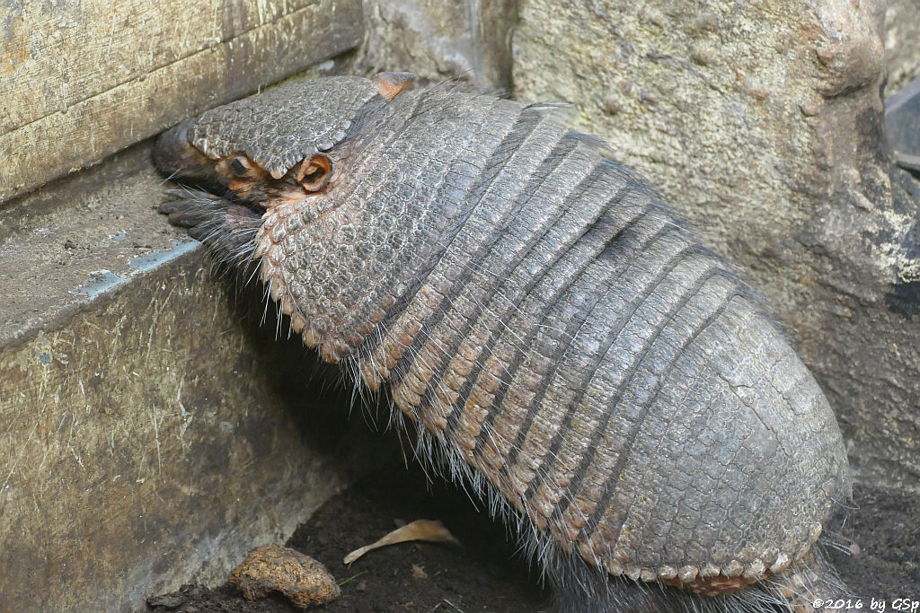 Braunborsten-Gürteltier (Braunzottiges Gürteltier, Braunhaar-Gürteltier)