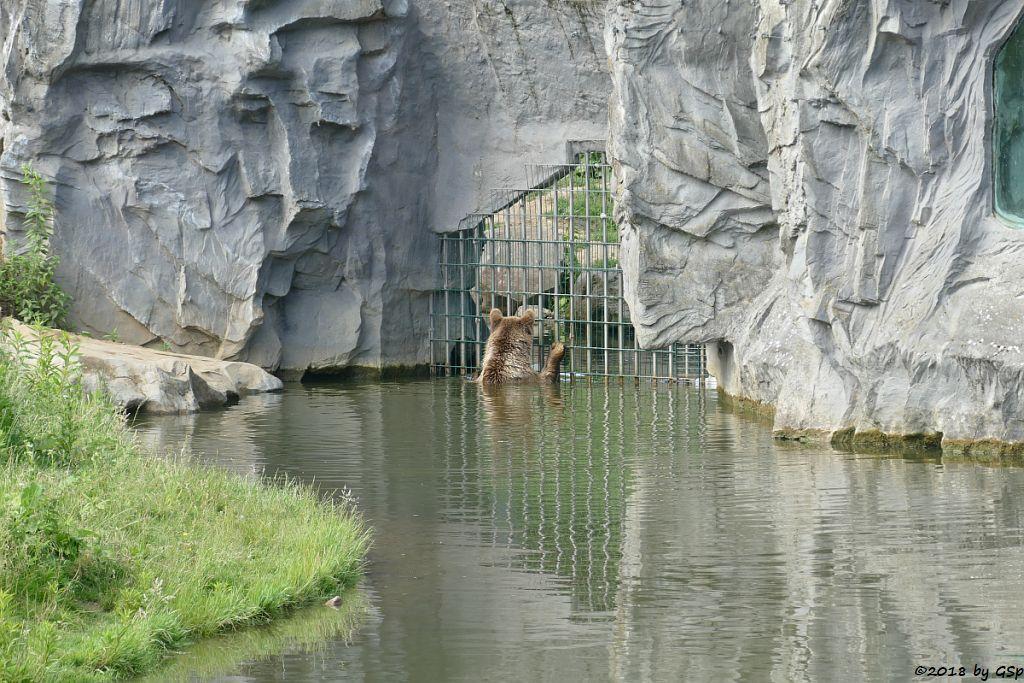 Europäischer Braunbär