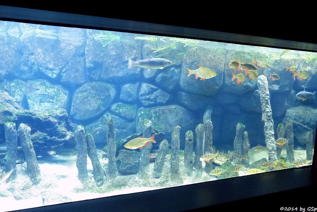 Nordsee-Aquarium: Flussbarsch, Rotfeder