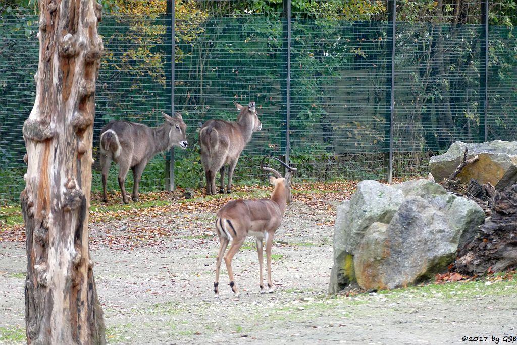 Ellipsenwasserbock, Gewöhnliche Impala (Schwarzfersenantilope)