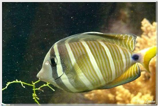 Indischer Segelflossendoktorfisch
