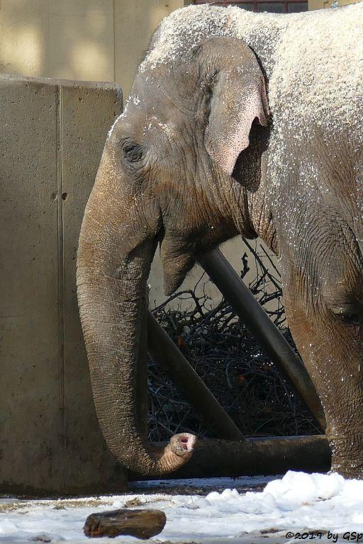 Asiatischer Elefant TARGA