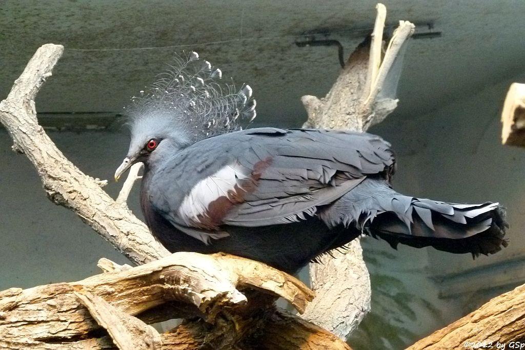 Fächertaube (Victoria-Krontaube)