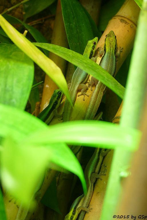 Blaue Bambusphelsume (Blauer Bambustaggecko)