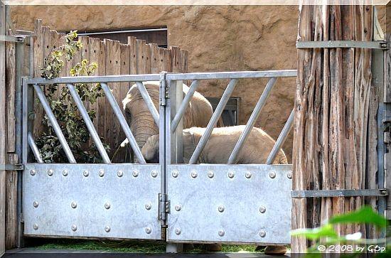 Afrikanischer Elefant DRUMBO und THABO UMASAI