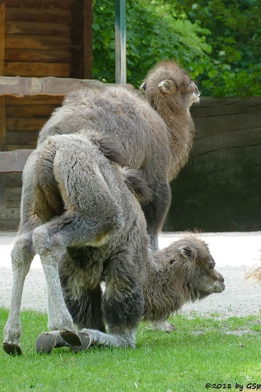 Trampeltier (Zweihöckriges Kamel, Hauskamel), geb. am 25.3. u.4.4.18
