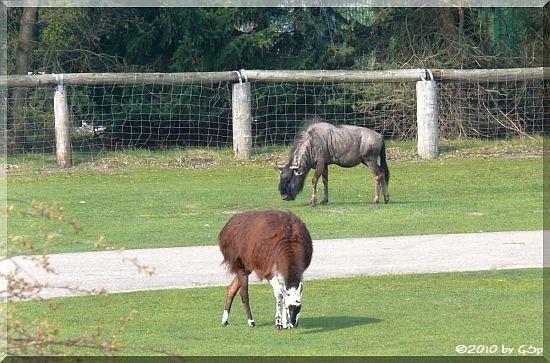 Streifengnu und Lama