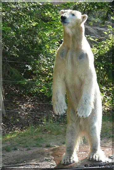 Eisbär FELIX - Sehnsucht nach Vera und ihren Kindern