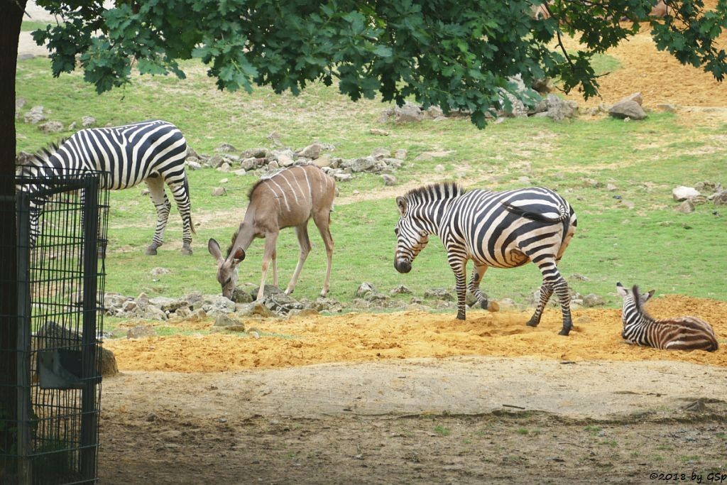 Böhm-Steppenzebra (Grant-Zebra), Großer Kudu