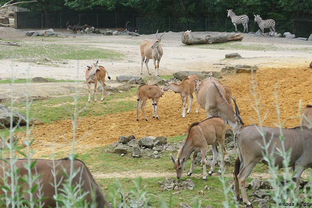 Elenantilope, Südafrikanische Rappenantilope, Böhm-Steppenzebra (Grant-Zebra)