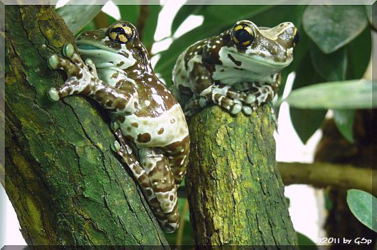 Gefleckter Krötenlaubfrosch