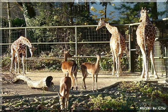 Netzgiraffe und Impala