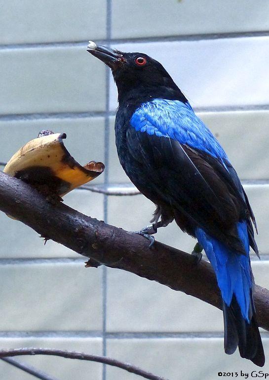 Elfenblauvogel-Männchen