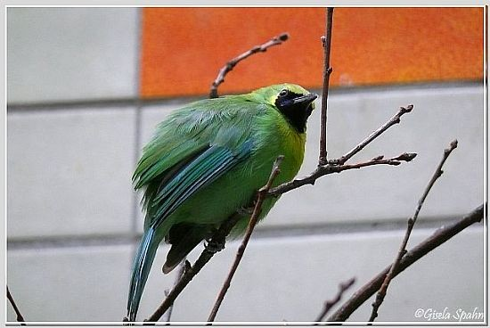 Gelbkopfblattvogel