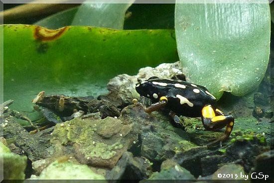 Paranussfrosch (Dendrobates castaneoticus)