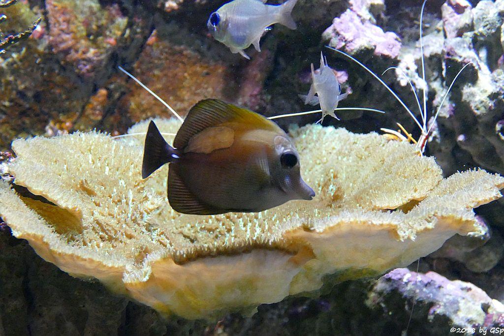 Brauner Segeldoktorfisch (Weißdorn-Segeldoktorfisch, Brauner Segelseebader)