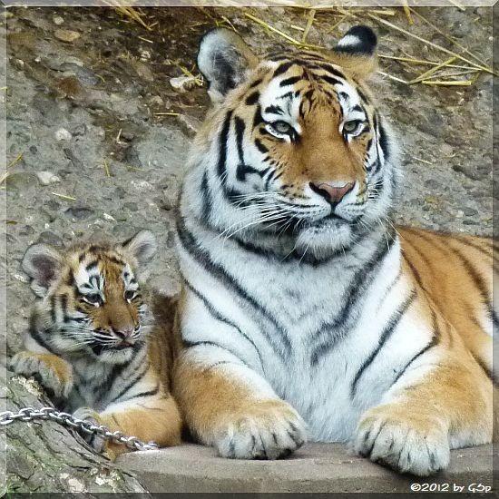 Sibirische Tigerin HANYA mit Tochter MILA
