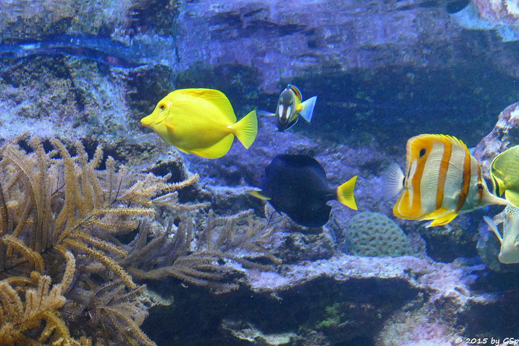 Gelber Segeldoktor, Weißwangen-Segeldoktor, Gelbschwanz-Segeldoktor, Streifenpinzettfisch