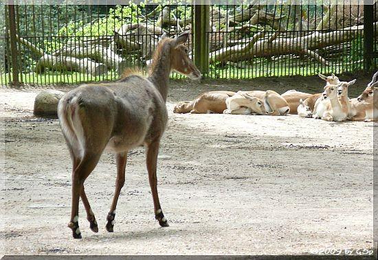 Nilgauantilope und Hirschziegenantilope