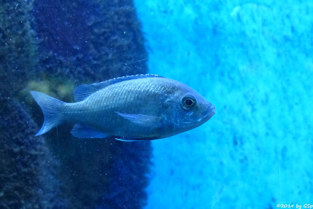 Blaugrüner Malawiseebuntbarsch