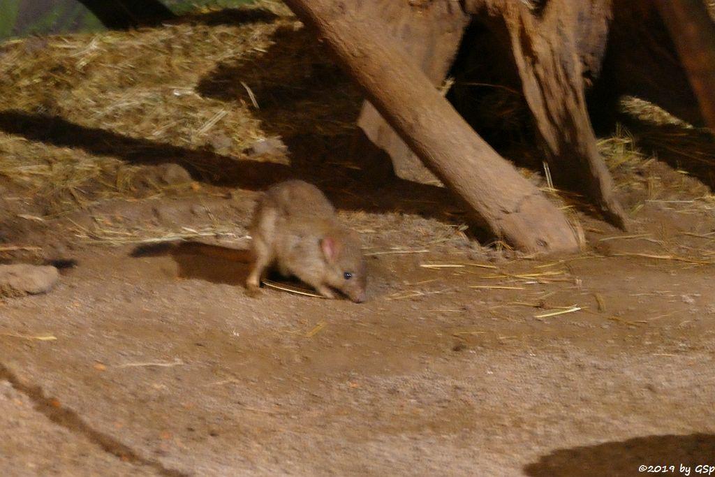 Westliches Bürstenschwanz-Rattenkänguru (Ogilby-Bürstenrattenkänguru, Woylie)