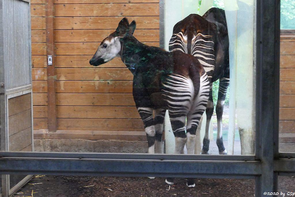 Okapi (Kurzhalsgiraffe, Waldgiraffe), Jungtier IMANI geb. 12.10.19