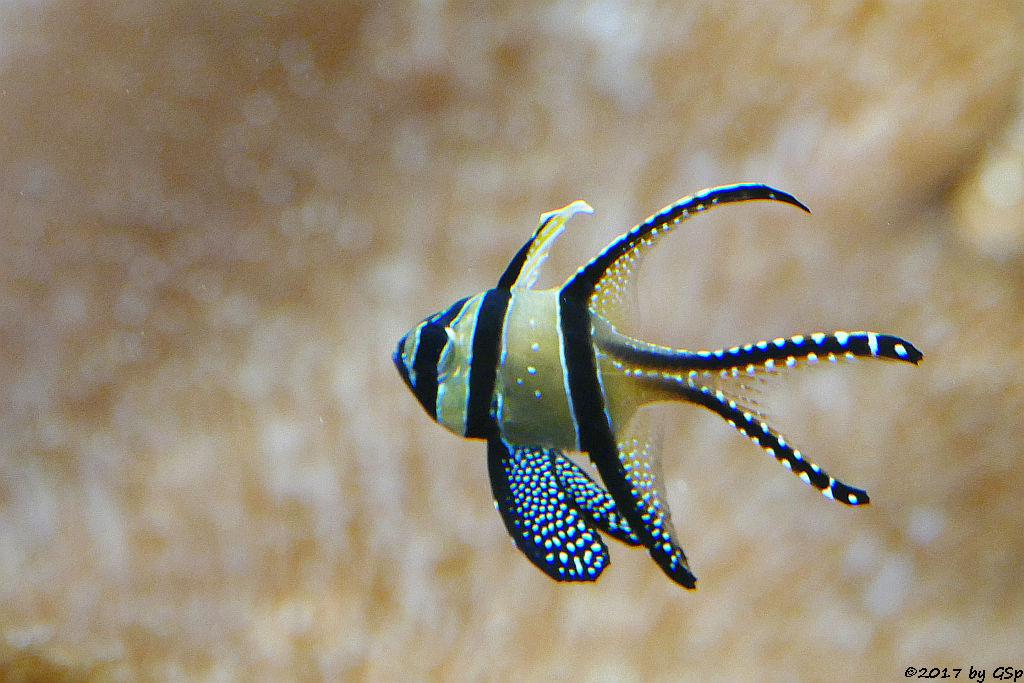 Banggai-Kardinalbarsch (Molukken-Kardinalbarsch, Zebra-Kardinalbarsch)