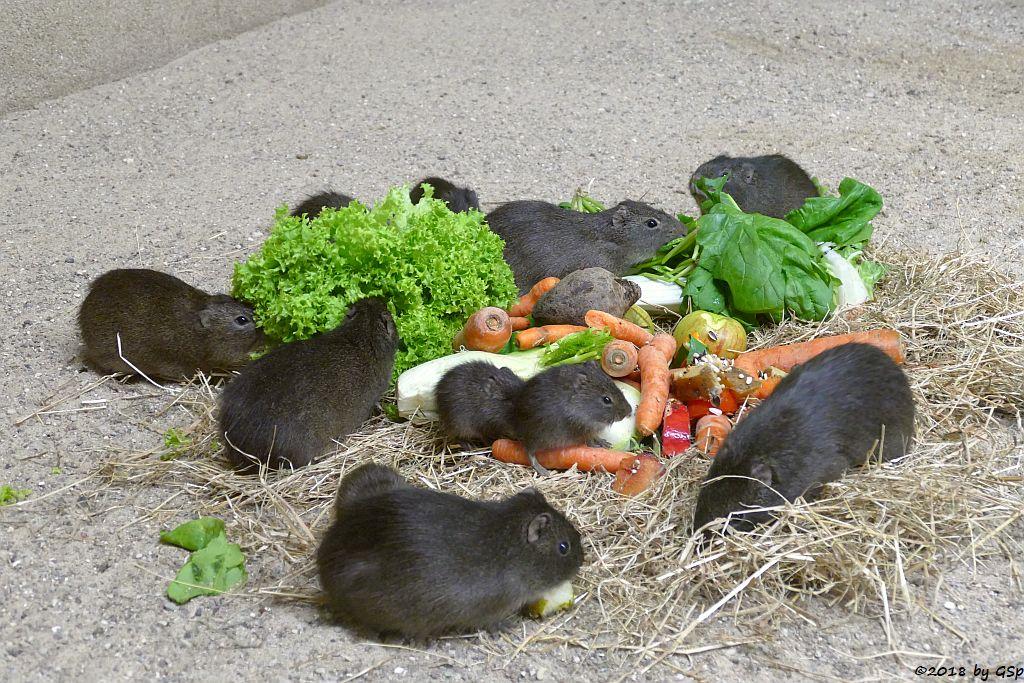 Gemeines Meerschweinchen (Aperea-Wildmeerschweinchen)