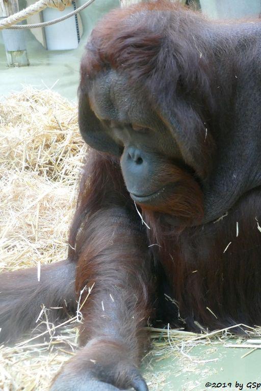 Borneo-Orang-Utan BUDI