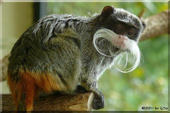 Kaiserschnurrbart-Tamarin