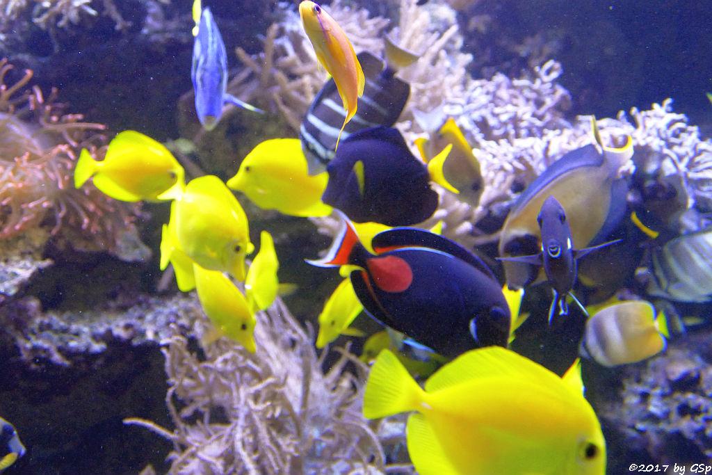 Gelber Segelflossen-Doktorfisch, Pazifischer Segelfl.-Doktorfisch, Blauer Segelfl.-Doktorfisch, Rotschwanz-Doktorfisch, Schokolad