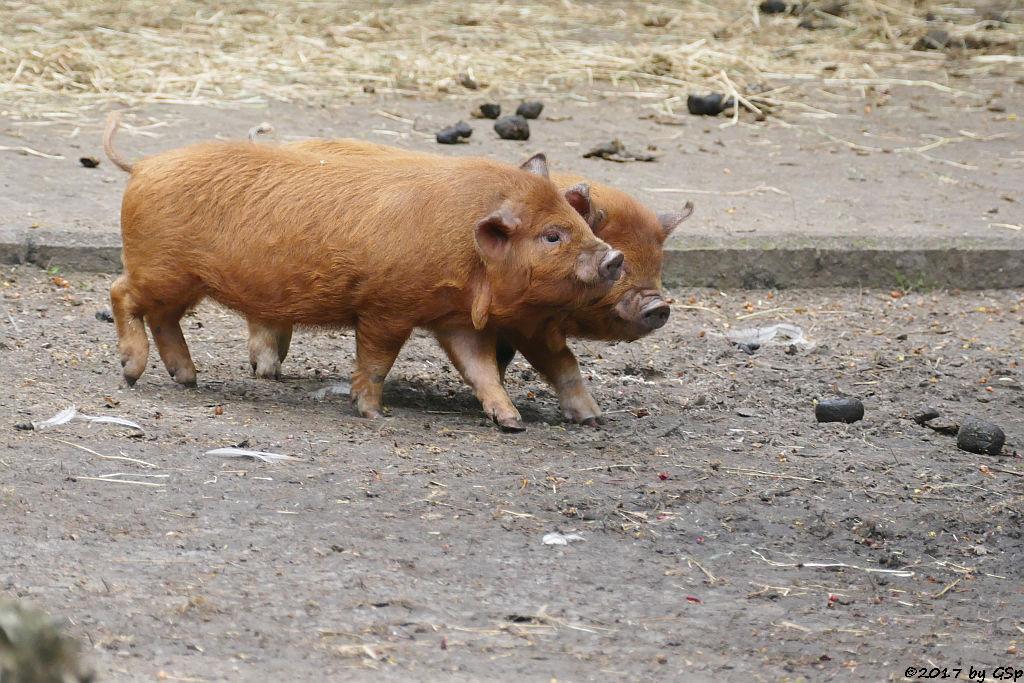 Kune-Kune-Schwein (Maori-Native)