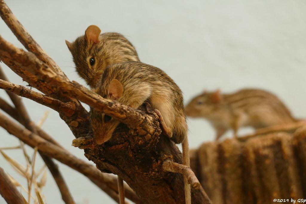 Vielstreifen-Grasmaus (Berber-Streifengrasmaus)