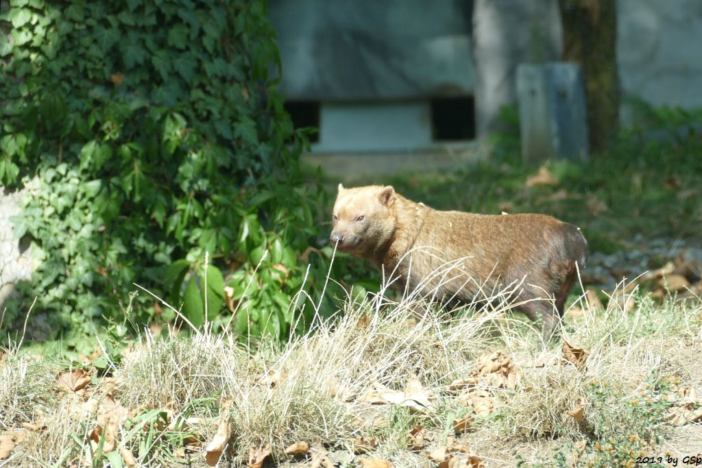 Waldhund (Buschhund)