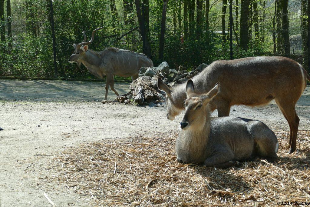 Großer Kudu, Ellipsenwasserbock