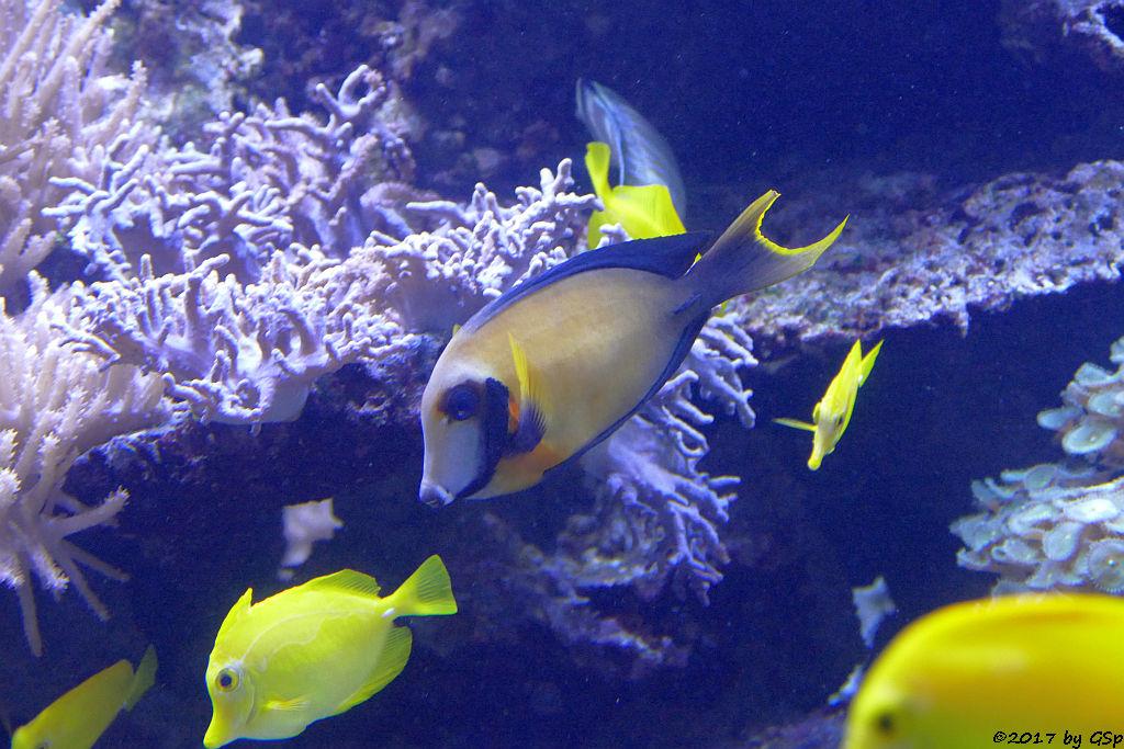 Schokoladen-Doktorfisch (Mimikry-Doktorfisch)