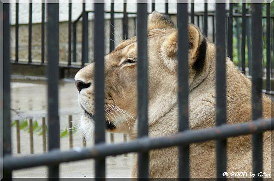Afrikanische Löwin SARAH...