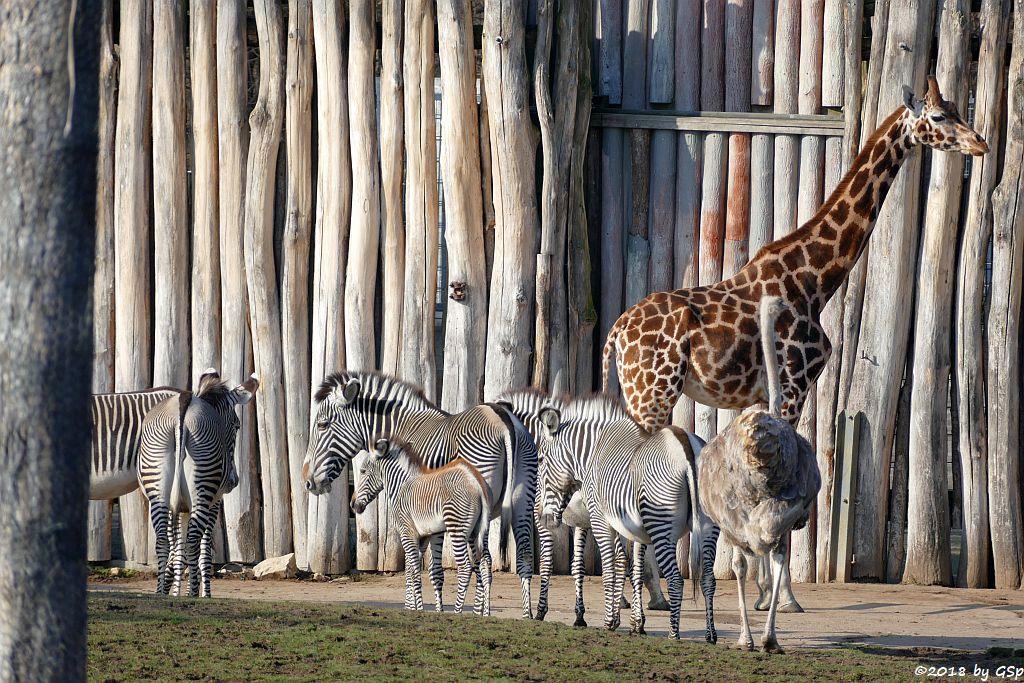 Grévy-Zebra, Rothschildgiraffe (Uganda-Giraffe, Baringo-Giraffe), Nordafrikanischer Strauß (Nordafrikanischer Rothalsstrauß)