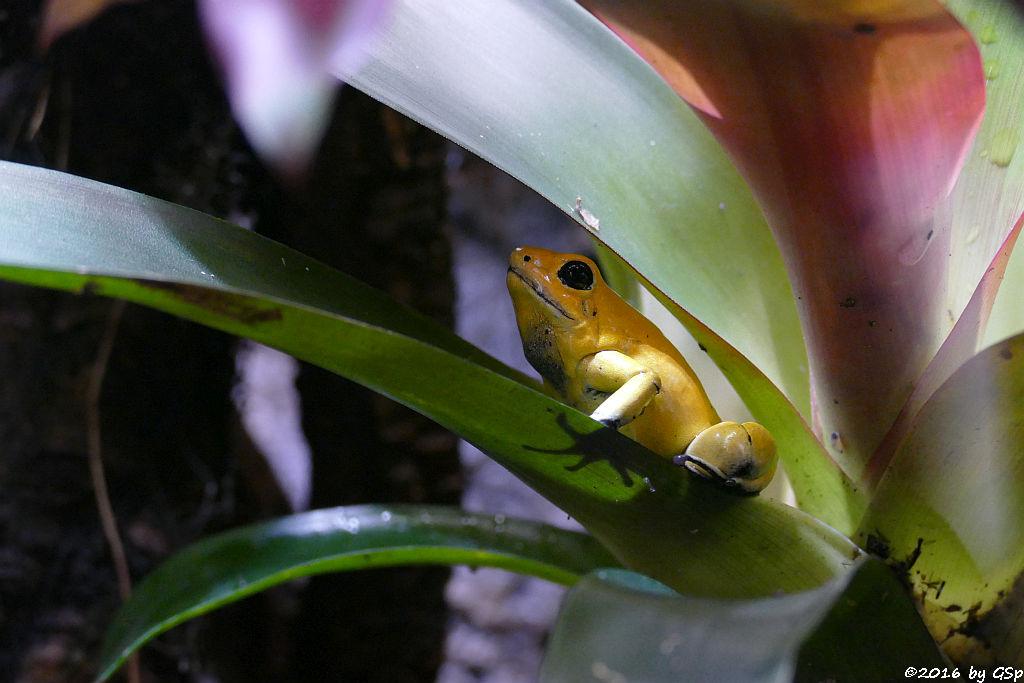 Goldener Pfeilgiftfrosch (Schrecklicher Pfeilgiftfrosch)