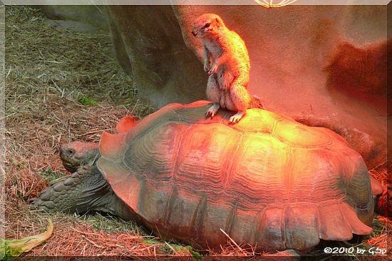 Kap-Borstenhörnchen auf Spornschildkröte