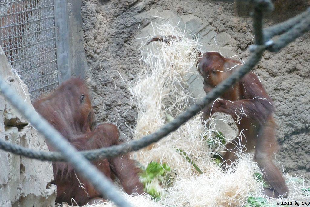 Sumatra-Orang-Utan ROSA und SAYANG