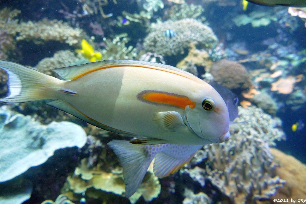 Orangefleck-Doktorfisch